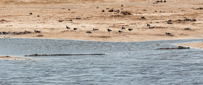 Hwange National Park Nyamandhlovu Pan Hide: Nilkrokodile (Crocodylus niloticus)