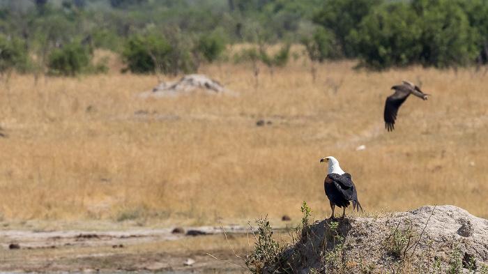 Hwange National Park Schreiseeadler (Haliaeetus vocifer)