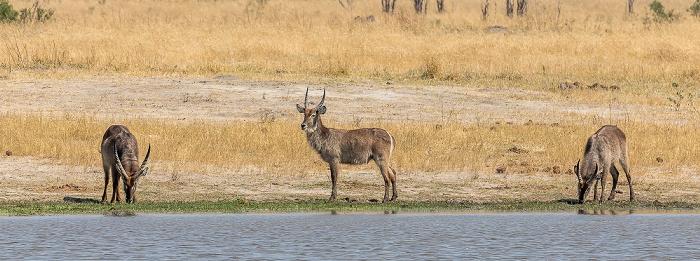 Hwange National Park Ellipsen-Wasserböcke (Kobus ellipsiprymnus)