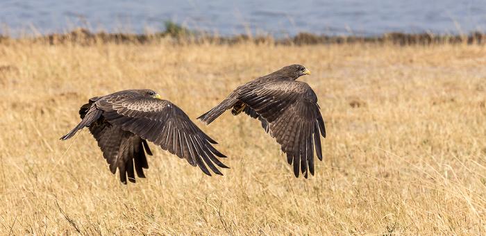 Hwange National Park Raubadler (Savannenadler, Aquila rapax)