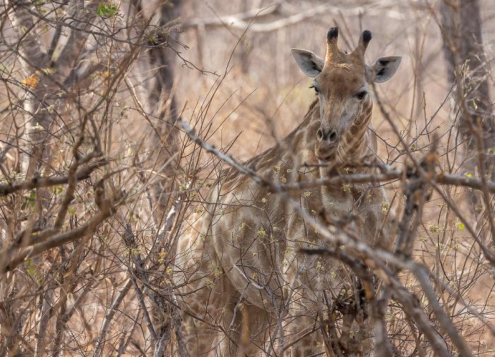 Sikumbi Forest Reserve Angola-Giraffe (Giraffa giraffa angolensis)