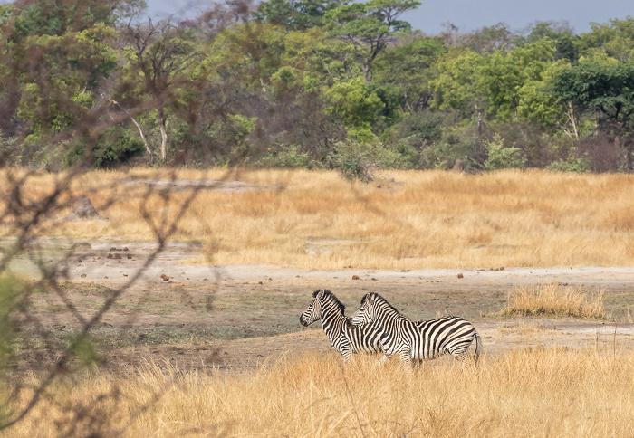 Hwange National Park Sedina Pan: Steppenzebras (Pferdezebra, Equus quagga)