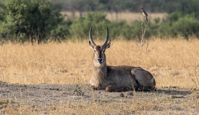 Hwange National Park Ellipsen-Wasserbock (Kobus ellipsiprymnus)