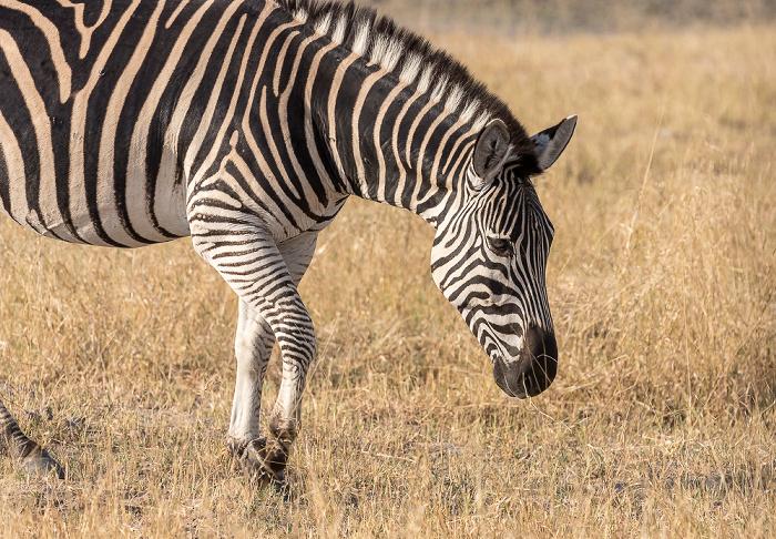 Hwange National Park Steppenzebra (Pferdezebra, Equus quagga)