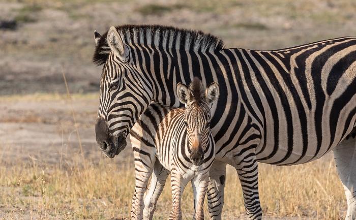 Hwange National Park Steppenzebras (Pferdezebra, Equus quagga)