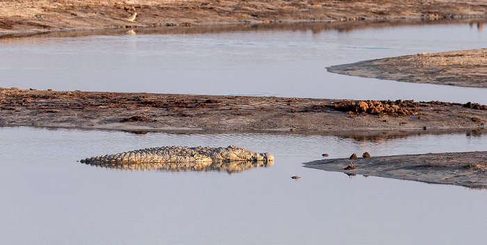 Hwange National Park Nyamandhlovu Pan Hide: Nilkrokodil (Crocodylus niloticus)