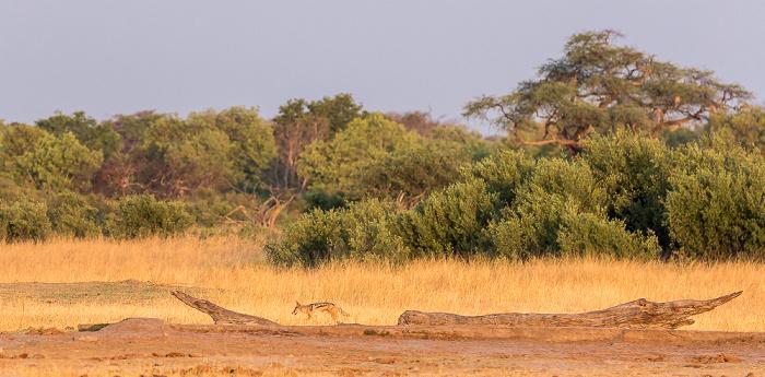 Hwange National Park Nyamandhlovu Pan Hide: Schabrackenschakal (Canis mesomelas)