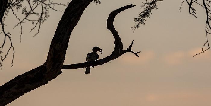 Hwange National Park Nyamandhlovu Pan Hide: Südlicher Gelbschnabeltoko (Tockus leucomelas)