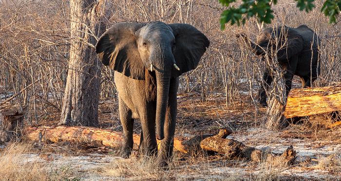 Sikumbi Forest Reserve Afrikanische Elefanten (Loxodonta africana)