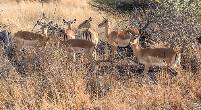 Hwange National Park Impalas (Aepyceros)