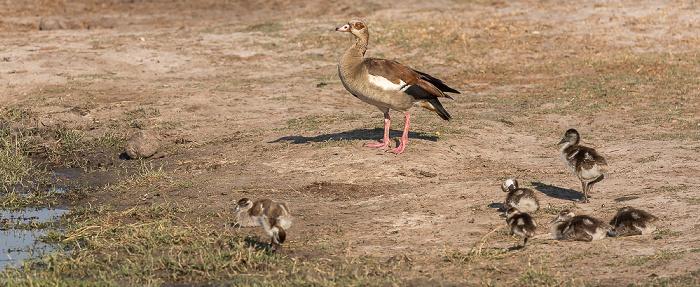 Hwange National Park Nilgänse (Alopochen aegyptiaca)