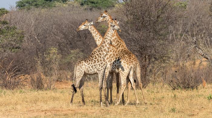 Hwange National Park Angola-Giraffen (Giraffa giraffa angolensis)