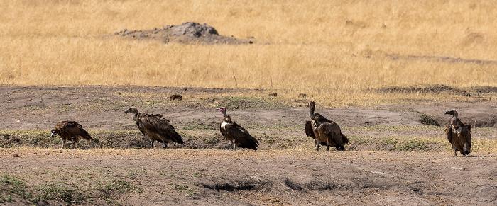 Hwange National Park Altweltgeier (Aegypiinae)