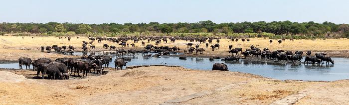 Hwange National Park Kennedy Pan: Kaffernbüffel (Schwarzbüffel, Afrikanische Büffel, Syncerus caffer)