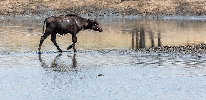 Hwange National Park Kaffernbüffel (Schwarzbüffel, Afrikanische Büffel, Syncerus caffer)