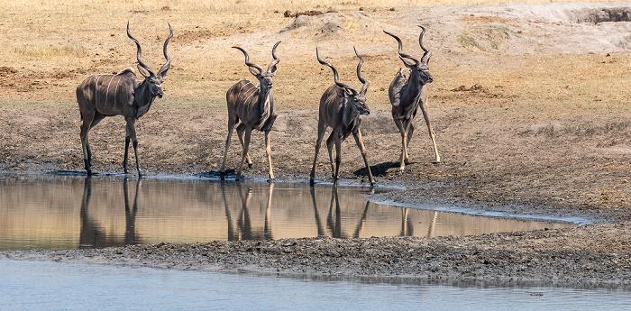 Hwange National Park Sambesi-Großkudus (Strepsiceros zambesiensis)