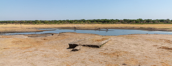 Hwange National Park Kennedy Pan: Sambesi-Großkudus (Strepsiceros zambesiensis)