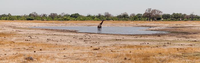 Hwange National Park Angola-Giraffe (Giraffa giraffa angolensis)