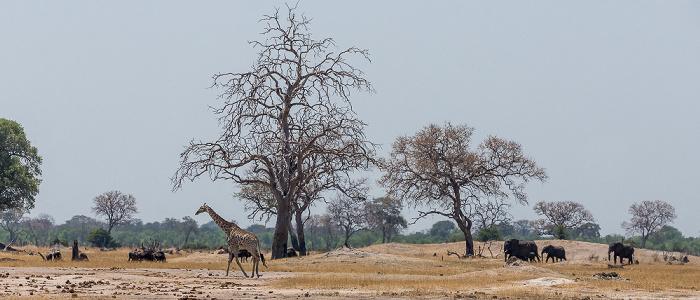 Hwange National Park Angola-Giraffe (Giraffa giraffa angolensis), Afrikanische Elefanten (Loxodonta africana)