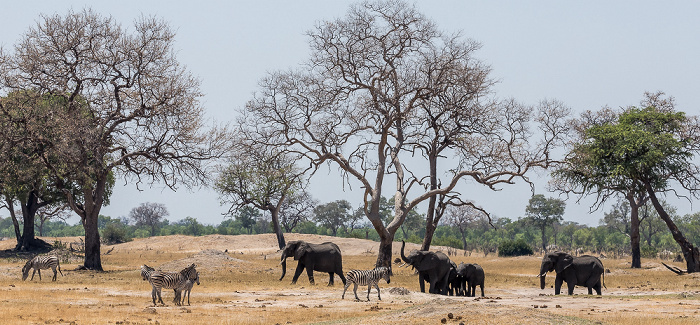 Hwange National Park Steppenzebras (Pferdezebra, Equus quagga), Afrikanische Elefanten (Loxodonta africana)