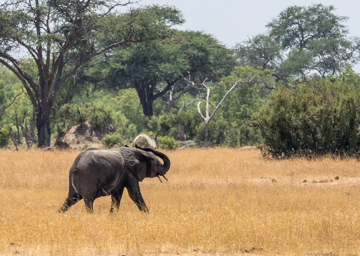 Hwange National Park Afrikanischer Elefant (Loxodonta africana)