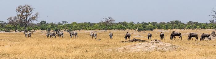 Hwange National Park Steppenzebras (Pferdezebra, Equus quagga), Streifengnus (Blaues Gnu, Connochaetes taurinus)
