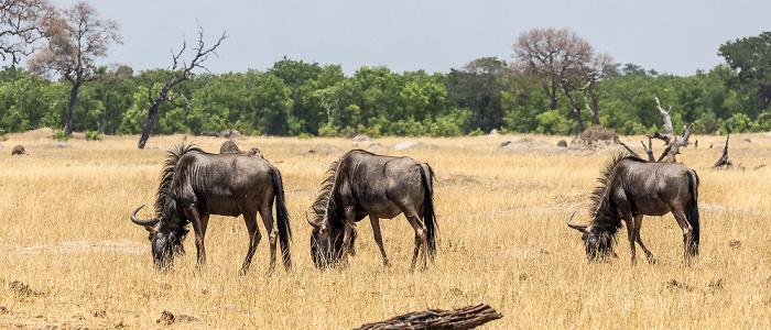 Hwange National Park Streifengnu (Blaues Gnu, Connochaetes taurinus)