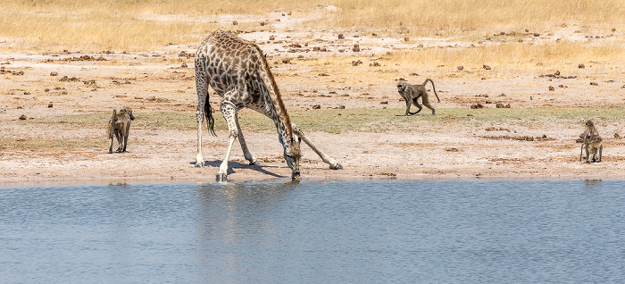 Hwange National Park Bärenpaviane (Tschakma, Papio ursinus), Angola-Giraffe (Giraffa giraffa angolensis)