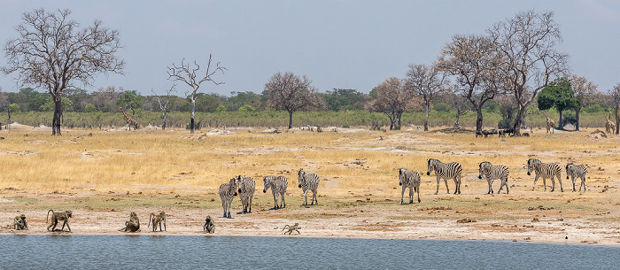 Hwange National Park Bärenpaviane (Tschakma, Papio ursinus), Steppenzebras (Pferdezebra, Equus quagga)