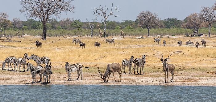 Hwange National Park Steppenzebras (Pferdezebra, Equus quagga), Sambesi-Großkudus (Strepsiceros zambesiensis)