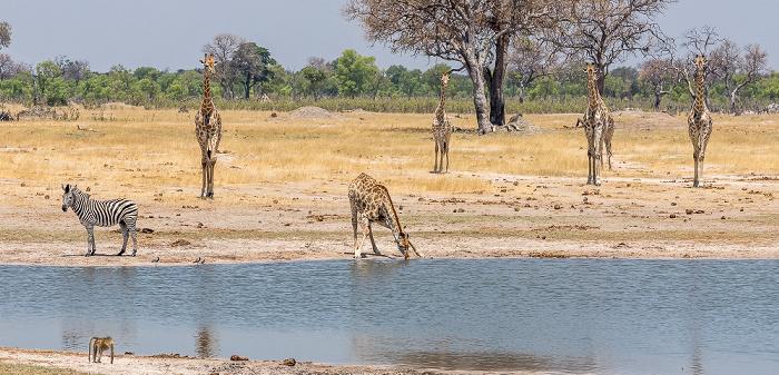 Hwange National Park Steppenzebra (Pferdezebra, Equus quagga), Angola-Giraffen (Giraffa giraffa angolensis)
