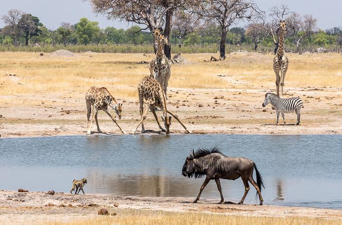 Hwange National Park Angola-Giraffen (Giraffa giraffa angolensis), Steppenzebra (Pferdezebra, Equus quagga)