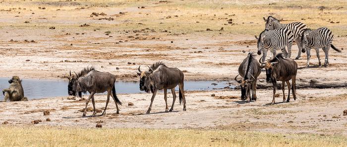 Hwange National Park Bärenpavian (Tschakma, Papio ursinus), Streifengnus (Blaues Gnu, Connochaetes taurinus), Steppenzebra (Pferdezebra, Equus quagga)