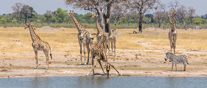 Hwange National Park Angola-Giraffen (Giraffa giraffa angolensis), Connochaetes taurinus), Steppenzebra (Pferdezebra, Equus quagga)