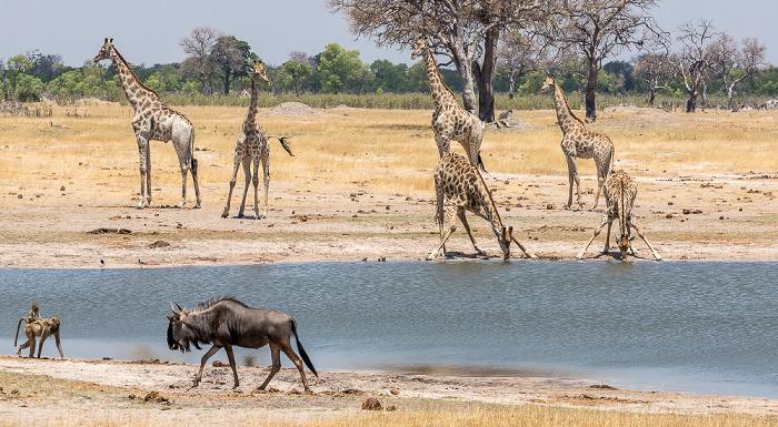 Hwange National Park Bärenpaviane (Tschakma, Papio ursinus), Streifengnu (Blaues Gnu, Connochaetes taurinus), Angola-Giraffen (Giraffa giraffa angolensis)