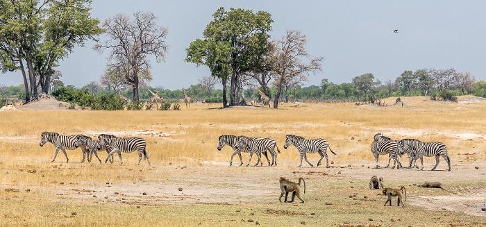 Hwange National Park Steppenzebras (Pferdezebra, Equus quagga), Bärenpaviane (Tschakma, Papio ursinus)