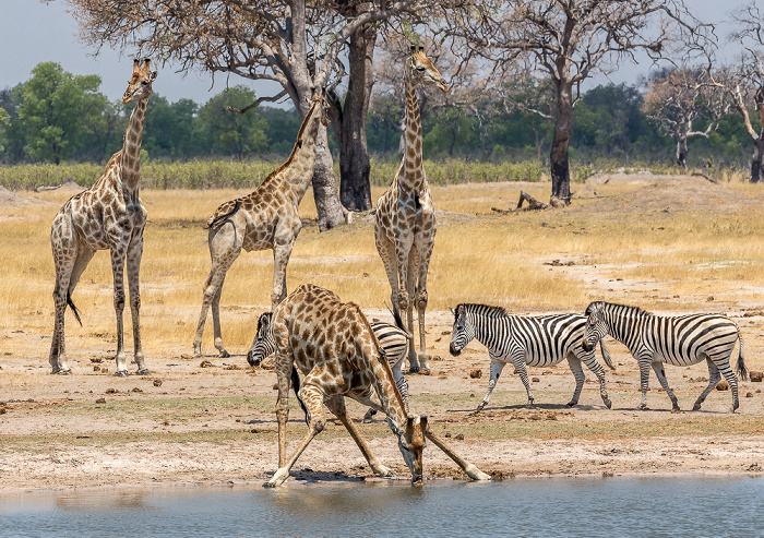 Hwange National Park Angola-Giraffen (Giraffa giraffa angolensis), Steppenzebras (Pferdezebra, Equus quagga)