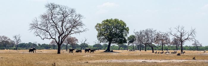 Hwange National Park Afrikanische Elefanten (Loxodonta africana), Steppenzebras (Pferdezebra, Equus quagga)