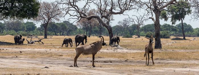 Hwange National Park Pferdeantilopen (Hippotragus equinus)