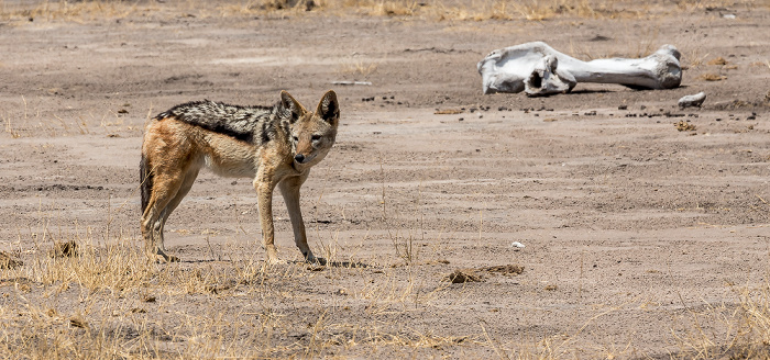 Hwange National Park Schabrackenschakal (Canis mesomelas)