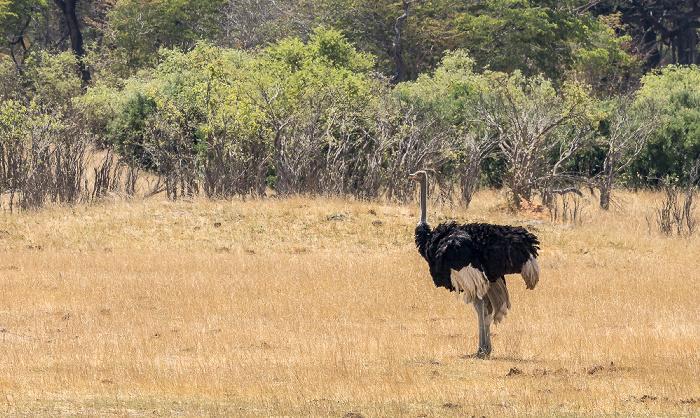 Hwange National Park Afrikanischer Strauß (Struthio camelus)