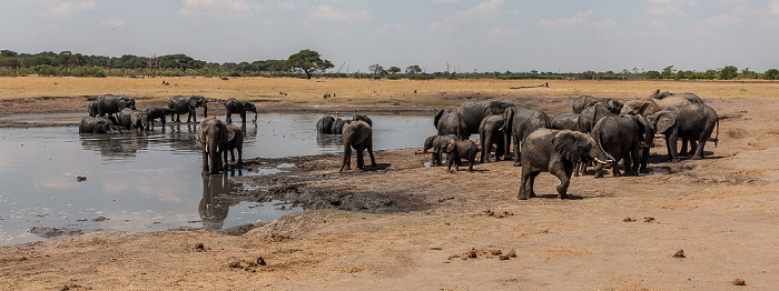 Hwange National Park Kennedy Pan: Afrikanische Elefanten (Loxodonta africana)