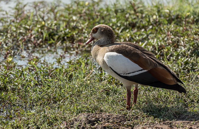 Hwange National Park Makwa Pan: Nilgans (Alopochen aegyptiaca)