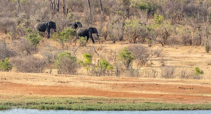 Sikumbi Forest Reserve Wasserloch an der Ivory Lodge: Afrikanische Elefanten (Loxodonta africana)