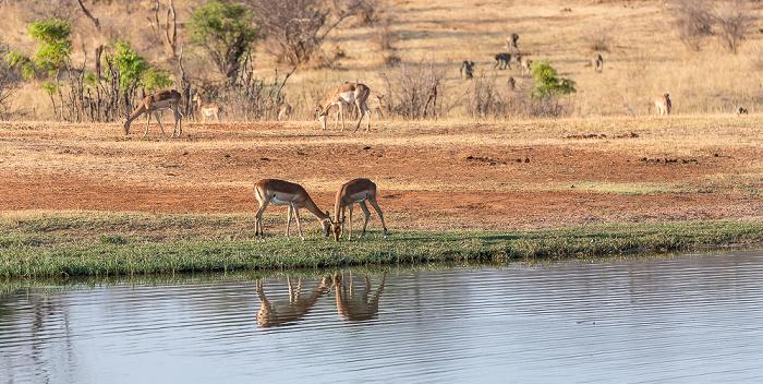 Sikumbi Forest Reserve Wasserloch an der Ivory Lodge: Impalas (Aepyceros)