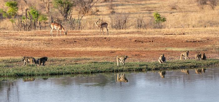 Sikumbi Forest Reserve Wasserloch an der Ivory Lodge: Bärenpaviane (Tschakma, Papio ursinus)
