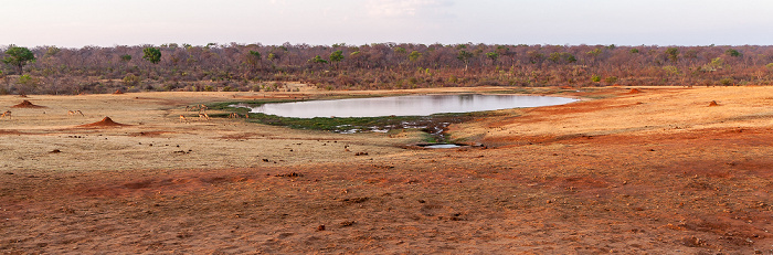 Sikumbi Forest Reserve Wasserloch an der Ivory Lodge: Impalas (Aepyceros), Bärenpaviane (Tschakma, Papio ursinus)