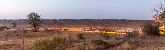 Sikumbi Forest Reserve Wasserloch an der Ivory Lodge: Kaffernbüffel (Schwarzbüffel, Afrikanische Büffel, Syncerus caffer)