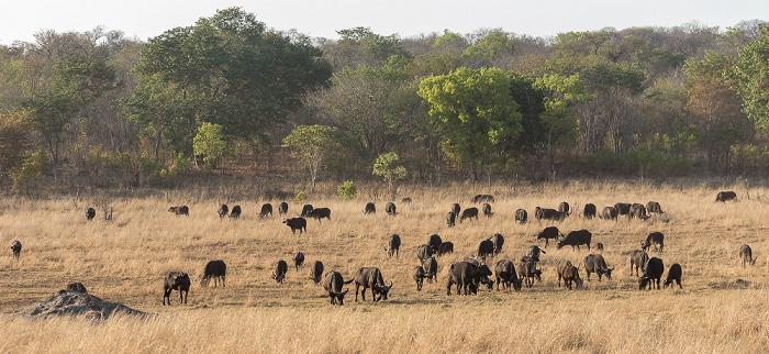 Sikumbi Forest Reserve Kaffernbüffel (Schwarzbüffel, Afrikanische Büffel, Syncerus caffer)