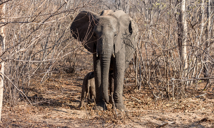Sikumbi Forest Reserve Afrikanischer Elefant (Loxodonta africana) mit Baby